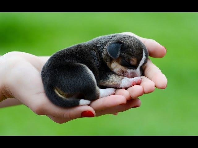 Все породы собак.Бигль (Beagle)