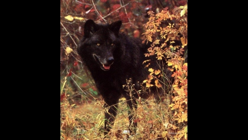 Черные волки. Волк одиночка. Альфа самец. Лучший охотник! Суперхищники! Nat Geo Wild HD