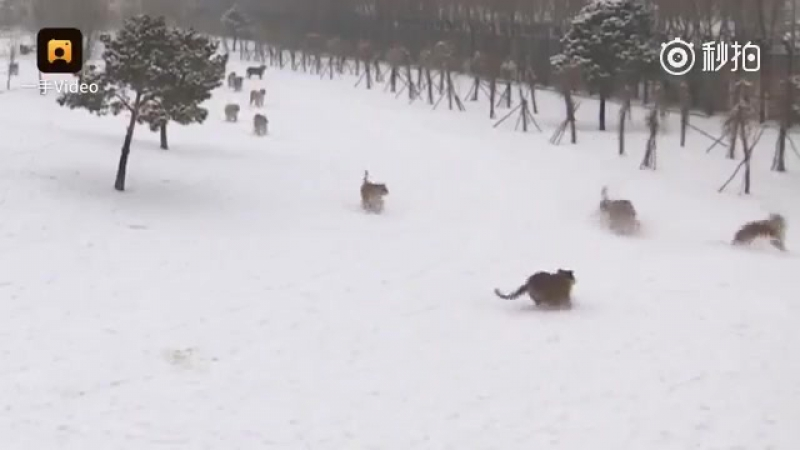 Drone_attack_Siberian_tigers_but_they_catch_itLiveLeak57