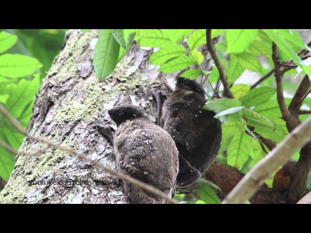 Филиппинский шерстокрыл / Philippine Flying Lemur / Cynocephalus volans