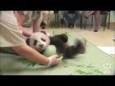 Панда. Панда играет с мячиком. Подарок. Подарили мяч. Животные №56
