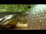 NEW 2016 Змея убивает змею. Огромная анаконда и питон.