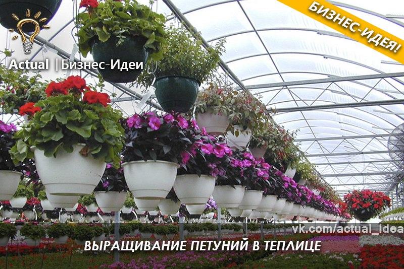 Выращивание петунии в теплице на продажу видео