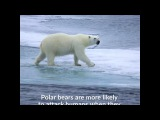 Polar bear attacks are on the rise