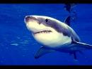 """Документальный фильм - Самые опасные животные Австралии """"Акулы"""" (В мире животных)..."""