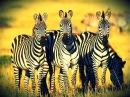 """Документальный фильм - Дикая природа Калахари """"Зебры"""" (В мире животных) Это интер ..."""
