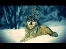 """Документальный фильм - Прирожденные убийцы """"Волки"""" (В мире животных) Это интересно!"""