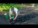 Посадка рассады помидор в открытый грунт