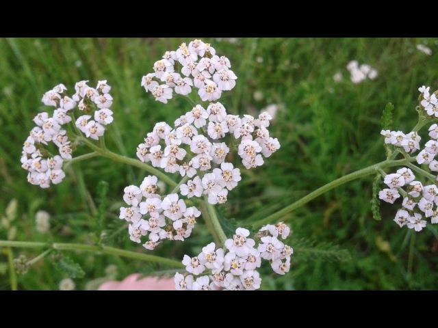 Тысячелистник обыкновенный. лекарственные травы и растения