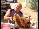 В Добропольском районе вспышка африканской чумы у свиней