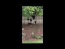 Медведица и ее медвежата_ через забор