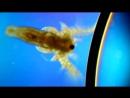 Artemia 100x_DIC