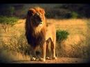 """Документальный Фильм - Хищники Африки """"Львы"""" (В мире животных) Это интересно!"""