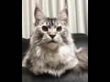 Серьезный кот.Serious cat