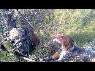 Охота на куропаток с легавой. Пара хороших эпизодов