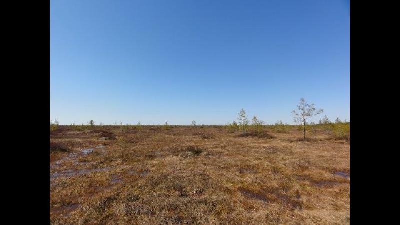 Охота на гуся на болотах (должна была быть, но гуся почти не было). 4 дня в лесу.