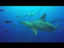 BBC. Галапагосы / Galapagos / 2016. 04. Diving in Galapagos with thousands of sharks.