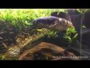Змееголов Золотая Кобра с мальком