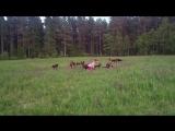 Королева немецких овчарок - 720p