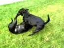 Собачий бой. Питбуль против питбуля