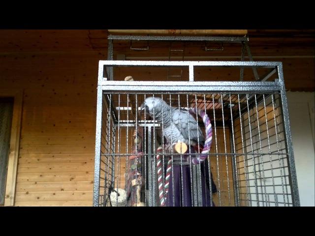 Попугай жако Гугуша поет песню Натали - О боже какой мужчина!