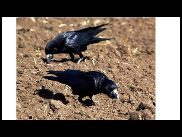 Голоса птиц Грачи