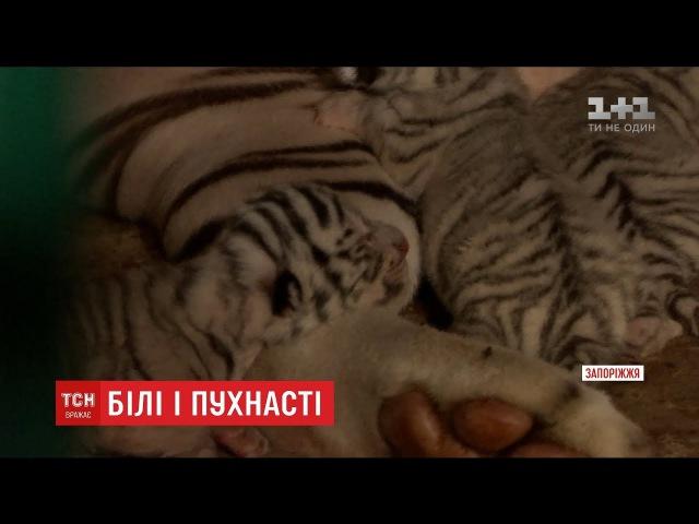 Унікальні тигренята з білим хутром народилися на Запоріжжі
