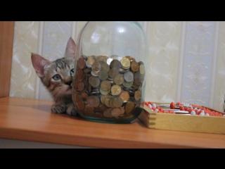 Пиксибоб Тунгус - бухгалтер-кассир-финансист. Доступен.
