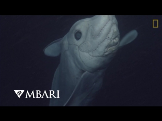 Ghost Shark Caught on Camera for the First Time - National Geographic