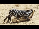 ЭТИ ЗВЕРИ ДАЛИ БОЙ ОБИДЧИКАМ. Зебра против Льва, буйвол против Льва, собака проти...