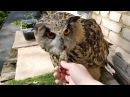 Ёлкино утро. Много котиков не бывает. Eagle Owl Yollka and her cats.