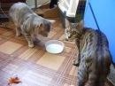 Два котика и одна миска с молоком