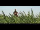 Следователями прокуратуры выявлена и уничтожена крупная плантация по выращиванию конопли
