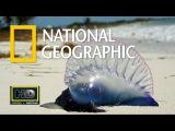 Дикая природа. Медузы монстры. Документальные фильмы National Geographic. Nat Geo WILD HD..