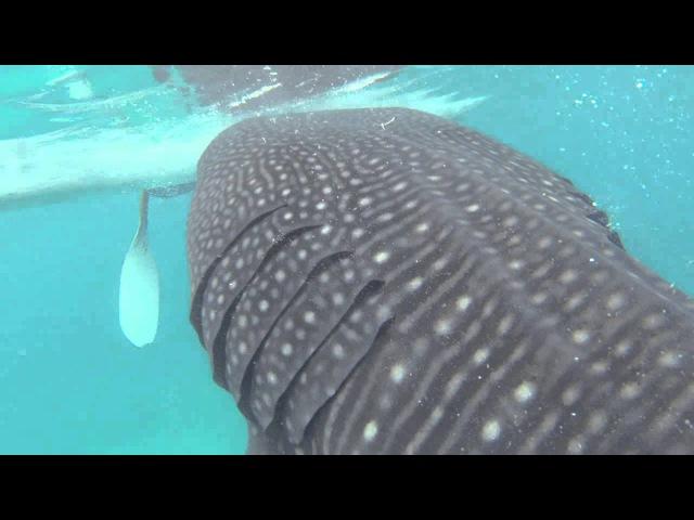 Акулы - Oslob Sharks