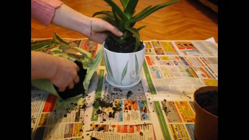 Как ПРАВИЛЬНО пересадить комнатное растение!__Transplanting plants__ Пересадка растений__ ksu66a