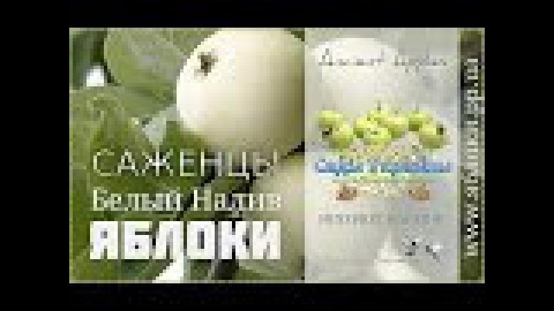 Саженцы яблоко Белый Налив 0957351986 0985674877 купить Украина Ancient Apples