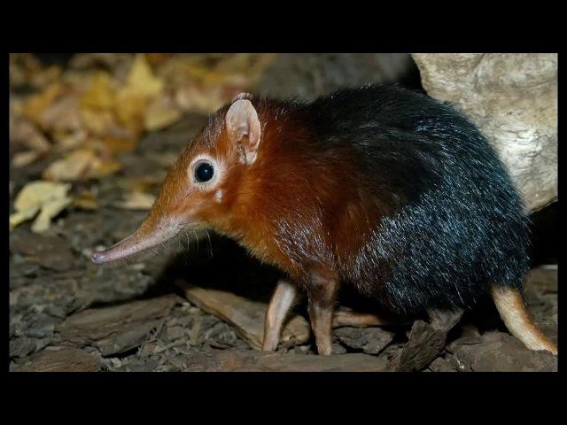 Редкие животные. Хоботковая собачка Петерса (Rhynchocyon petersi)