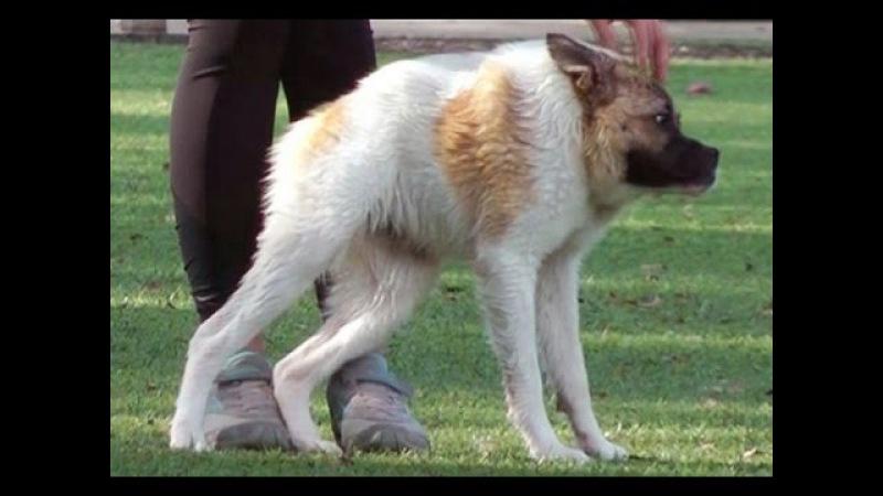Cиндром короткого позвоночника   dogs with short spine syndrome