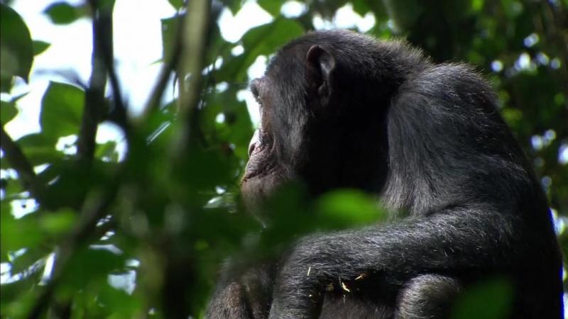 BBC   Тайная жизнь приматов. Шимпанзе [1/4]