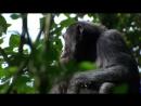 BBC Тайная жизнь приматов Шимпанзе 1 4