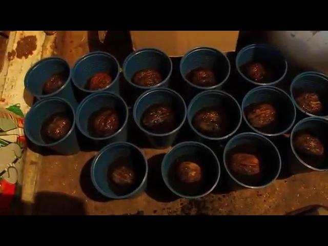 зберігання, посадка, вирощування, окуліровка горіхів. №3