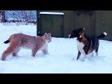 ДВЕ РЫСИ И СОБАКА. Веселая прогулка с большими кошками