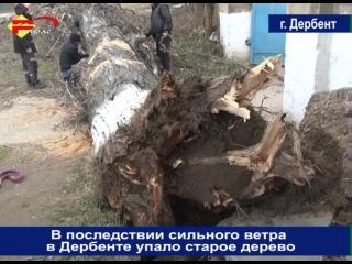В последствии сильного ветра в Дербенте упало старое дерево