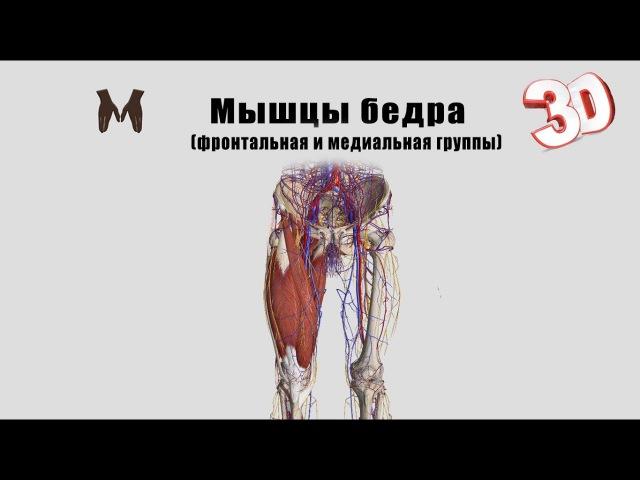 Мышцы бедра (фронтальная и медиальная группы) детальный обзор 3D