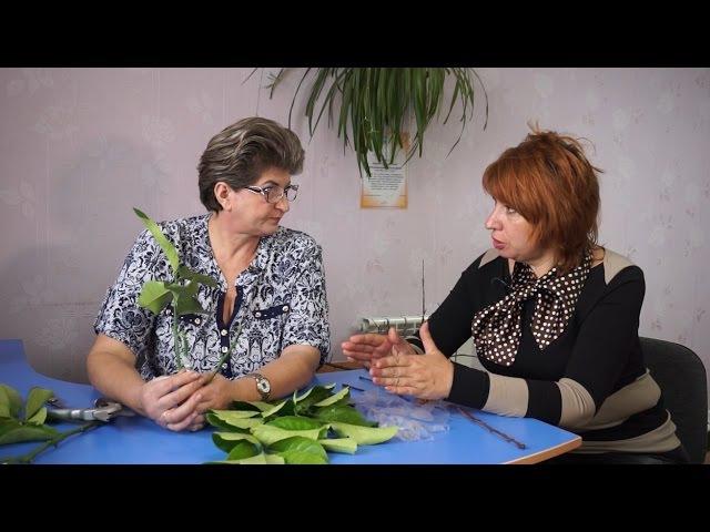 Удачная среда - учимся прививать комнатный лимон (Бийское телевидение)