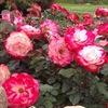 Любимые Розы  Северной Столицы
