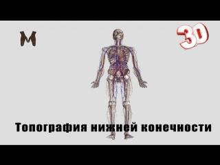Топография нижней конечности ( детальный обзор)