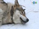 В мире животных. Волки