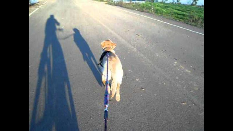 Jacko torbellino labrador bike juring 2